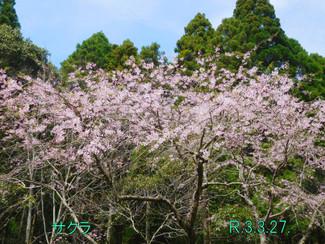 今日のお花:サクラ