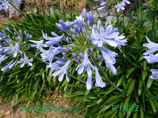 今日のお花:ムラサキクンシラン