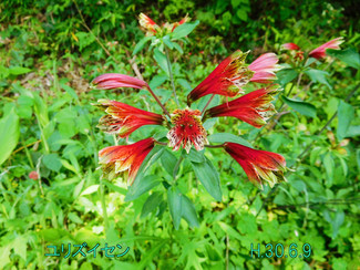 今日のお花:ユリズイセン