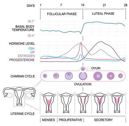 1024px-MenstrualCycle2_en.svg.png