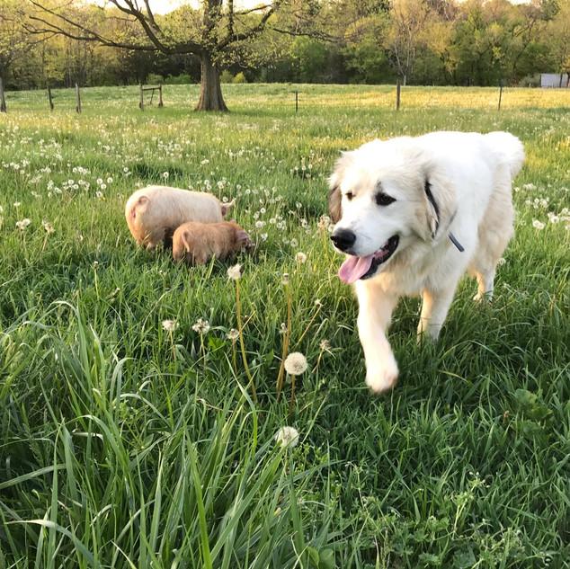Guarding the Kunekune pigs