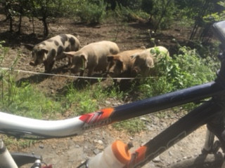 Pedal Power Pigs (found on the Beer Run)