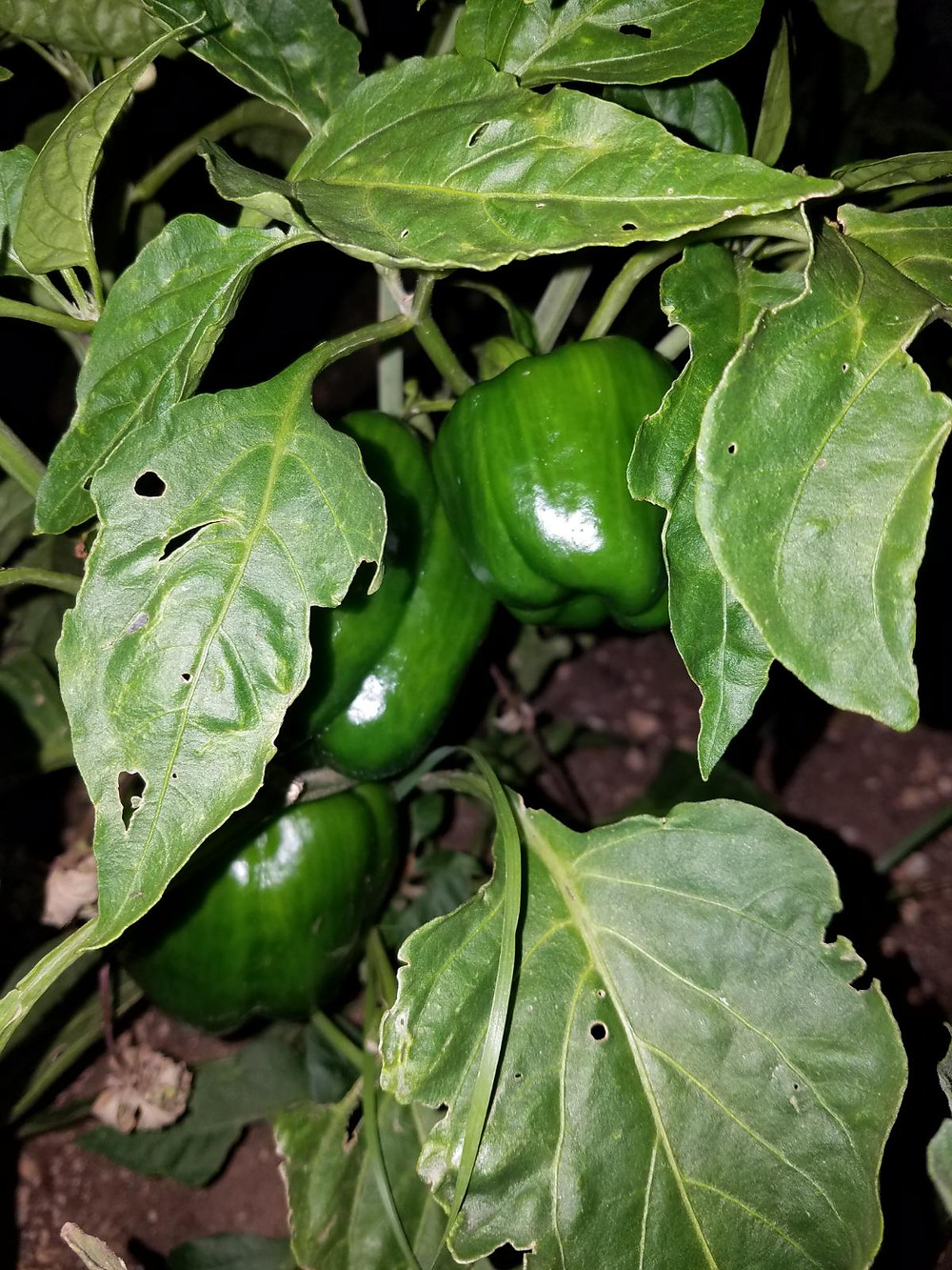 Bell Pepper Plants at NOMAD RANCH