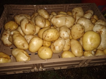 Just finished digging some potatoes for tomorrow's Farmers Market.  Hope to see you there!