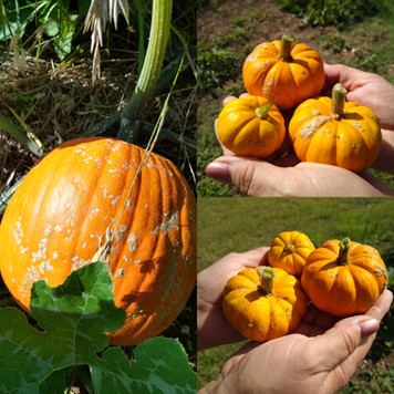 First pumpkins from the garden are here!