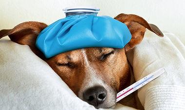 bigstock-Sick-Ill-Dog-90002564_edited.jp