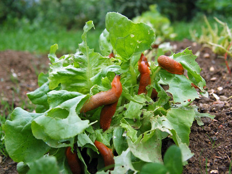 Les méthodes naturelles pour éloigner les limaces de votre potager.