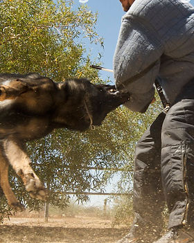 Protection-dog-training-PartnersDogTrain