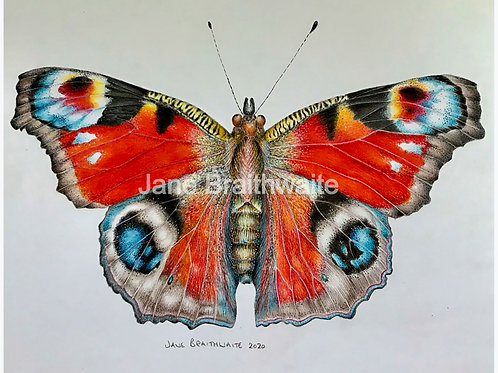 Peacock Butterfly Study