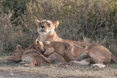 Lioness with Cubs/ Sw. Simba