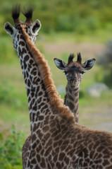 Giraffe/ Sw. Twiga