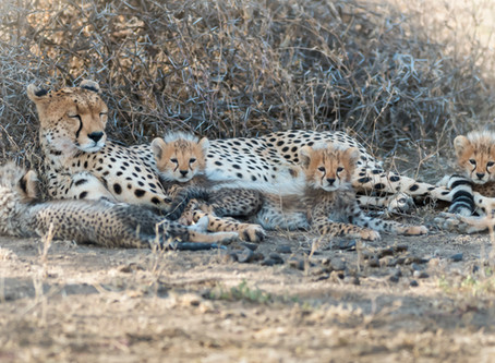 She's A Good Cheetah Mum!