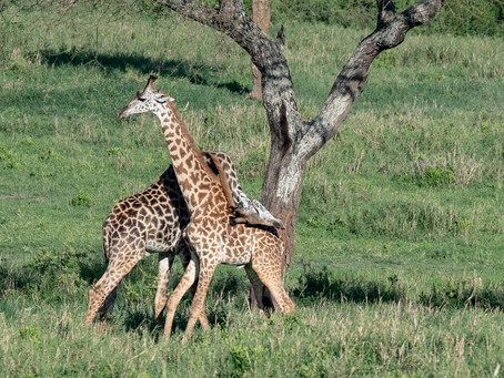 A Necking Spectacle In Tanzania