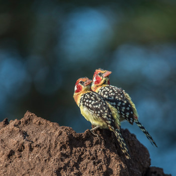 African Avian