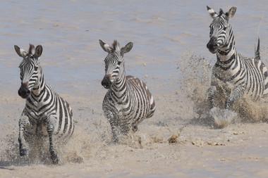 Zebra/ Sw. Punda milia