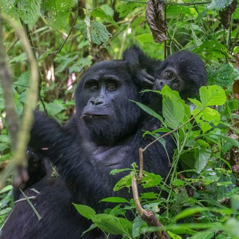 Mama - Female Gorilla