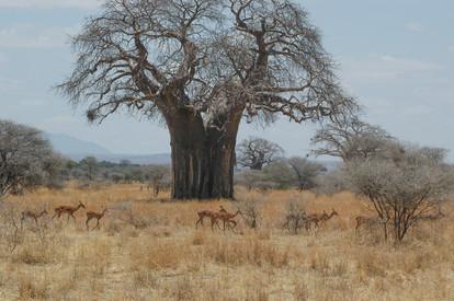 Boabab Tree-Dry Season