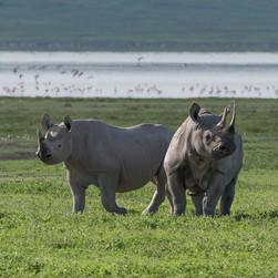 Rhinoceros/Sw.Faru
