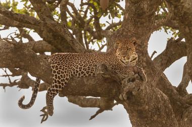 Eng. Leopard/ Sw: Chui