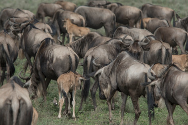 White-bearded Gnu/ Sw: Nyumbu