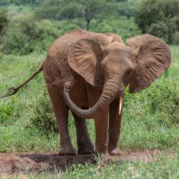 Elephant/ Sw. Tembo