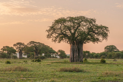 Boabab Tree-Wet Season