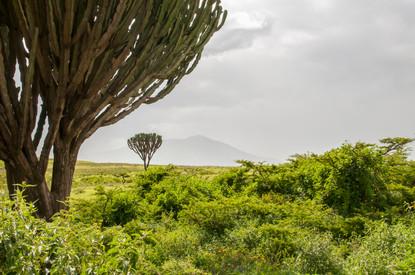 Candelabra Trees