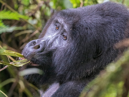 Mountain Gorilla Game of Tag