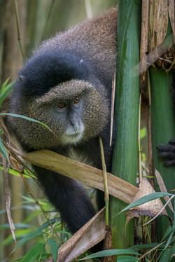 Golden Monkey - Uganda