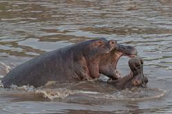 Hippopotumus