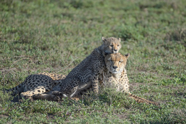 Cheetah & Cub/ Sw. Duma