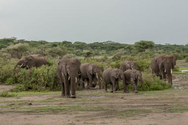 Elephant/Sw. Tembo