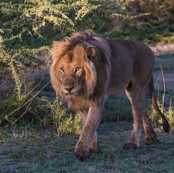 Lion/ Sw. Simba