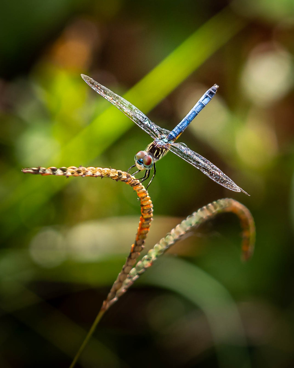 'Blue Dasher' by John Davidson ( 10 marks )