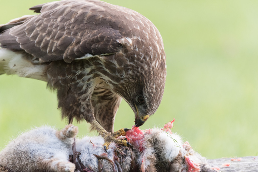 PDI - Common Buzzard by Philip Blair (9 marks)