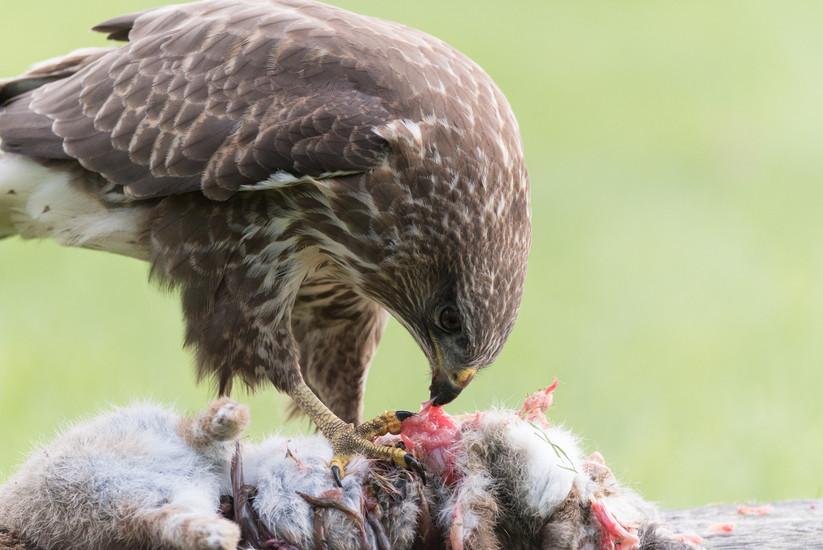 PDI - Common Buzzard by Philip Blair (9 marks)