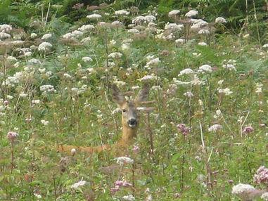 Roe deer Haweswater.jpg
