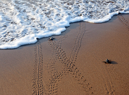 Baby sea turtles cross Atlantic!