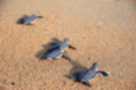 hatchlings_greenturtles1.jpg