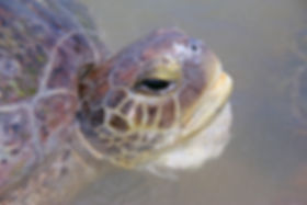 adult_green-turtle.jpg