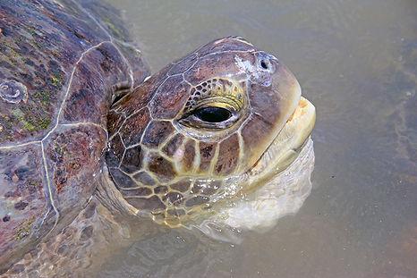 adult_green-turtle.jpg