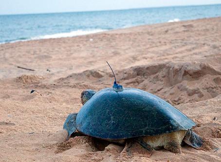 Green turtle migration