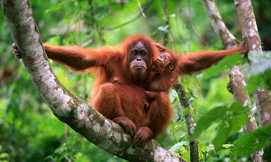 orangutan_with_baby.jpg