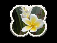 frangipane bloem.png