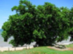 Tamanu-Tree.jpg