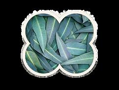 eucalyptus blad.png