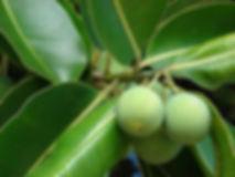 Tamanu-Tanami-From-Calophyllum-Inophyllu