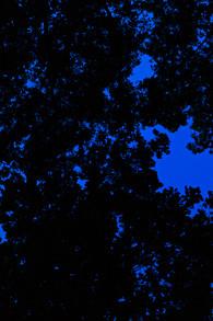 Blue dream 14