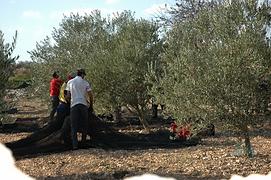Les olives de Privat sont amenées à l'OULIBO pour l'huile