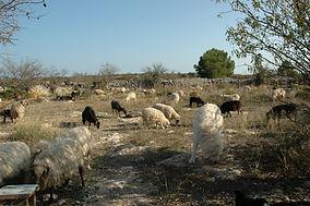Elevage des moutons sur le plateau de Leucate